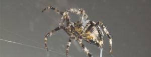 Wie die feinen Spinnenhärchen das menschliche Hören verbessern können