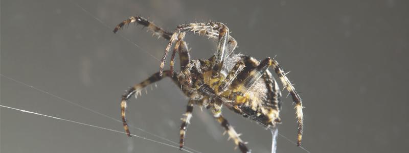 Hörtechnologie: Spinnenseide für besseres Hören