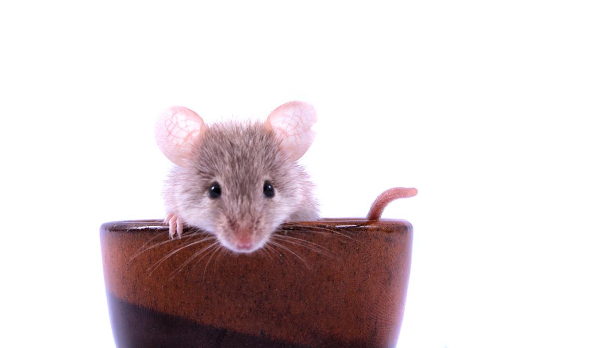 Taube Mäuse können dank Gentherapie hören