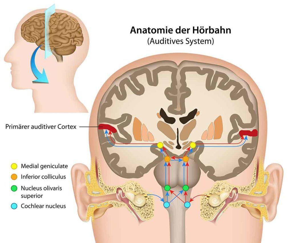 Anatomie-der-Hörbahn